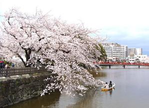Sakura13032605